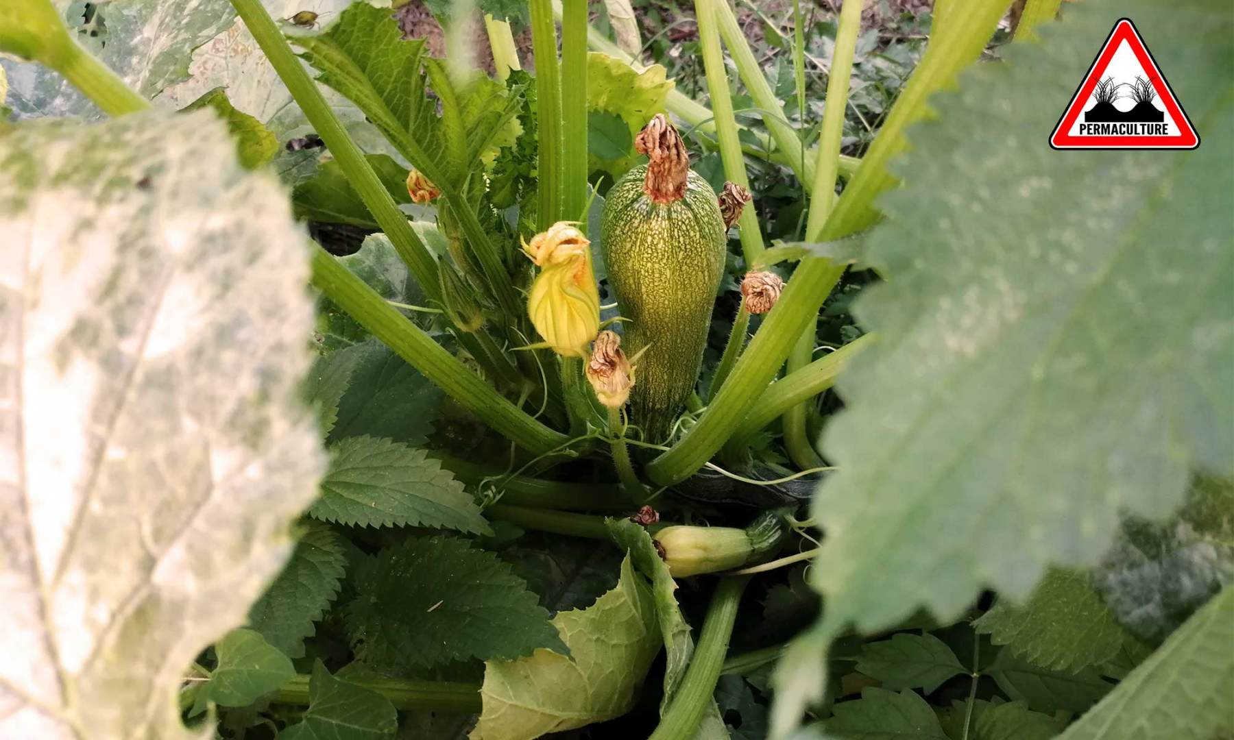 cougette-jardin-lasagne-baugnac