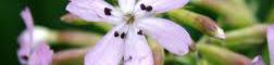 Saponaire pour produits d'entretien bio : Les Ateliers en Herbe