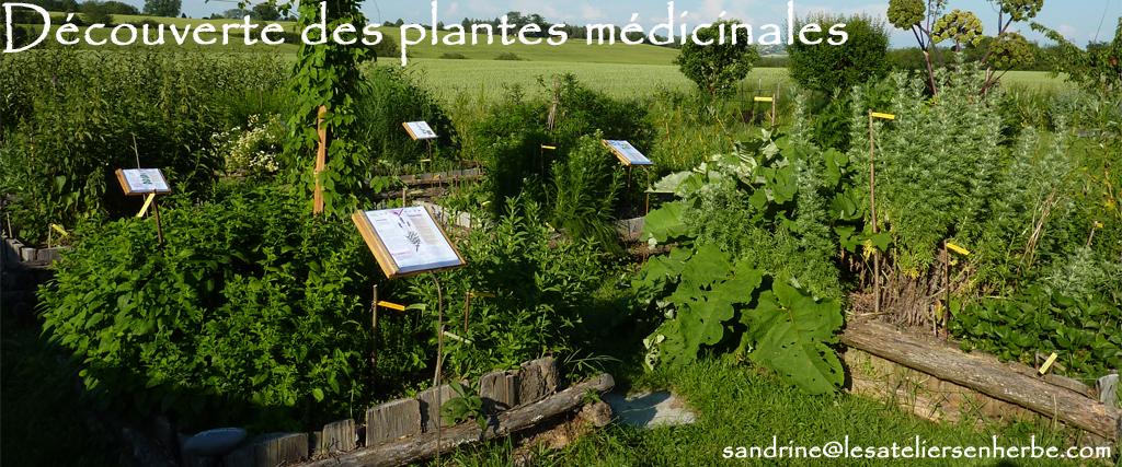 Atelier de découverte des plantes médicinales et comestibles - Les Ateliers en Herbe