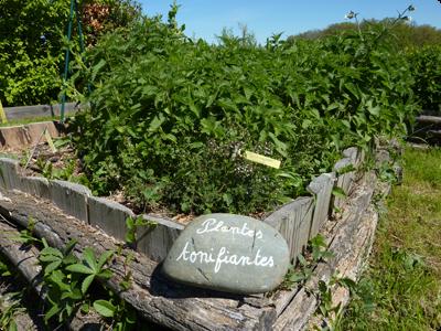 Plantes tonifiantes au jardin des simples : les Ateliers en Herbe