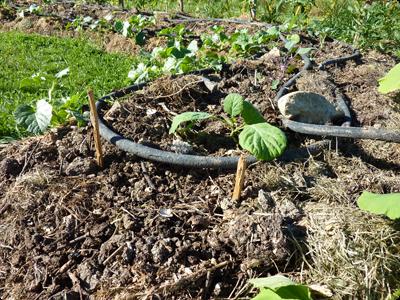 Détail de la dernière couche du potager en lasagne : Les Ateliers en Herbe