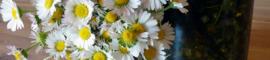 Macerat de paquerette : Les Ateliers en Herbe