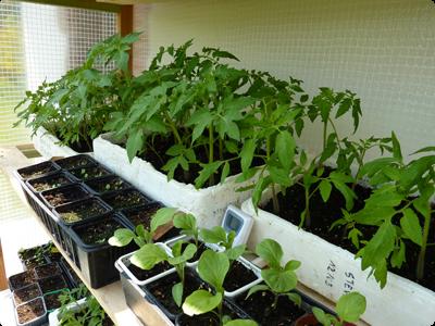 Semis en barquette : Les Ateliers en Herbe