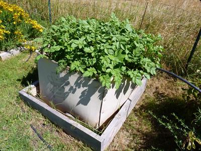 Lasagne de pomme de terre pour potager insolite : Les Ateliers en Herbe