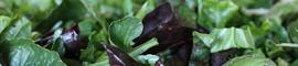 Salade jeunes pousses printemps : Ruche Est Toulouse
