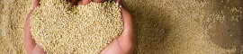 La petite graine qui fait tourner les têtes : Quinoa