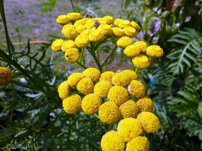 Fleurs de Tanaisie - Jardins de Baugnac