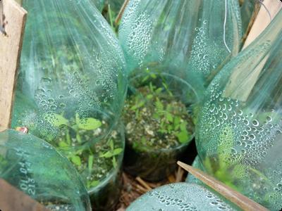 Semis au chaud avant la lasagne : Les Ateliers en Herbe