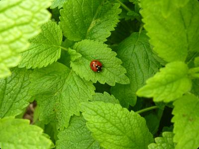 Plantes hôtes et auxiliaires au jardin naturel : Les Ateliers en Herbe