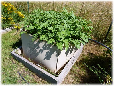 Lasagne pomme de terre potager : les Ateliers en Herbe